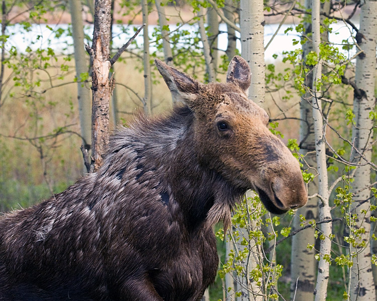 Moose at Ox Bow Bend.jpg