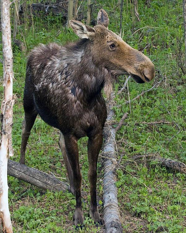 Moose at Ox Bow Bend Vertical.jpg