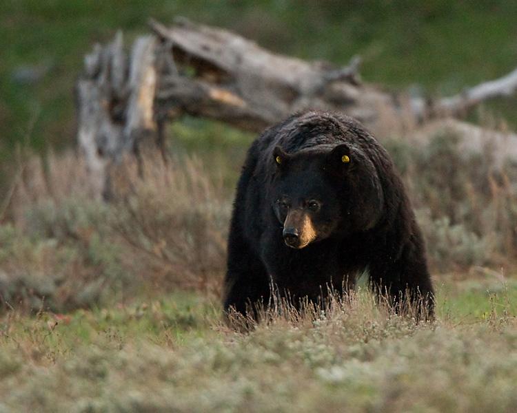Black Bear Near Colter Bay.jpg