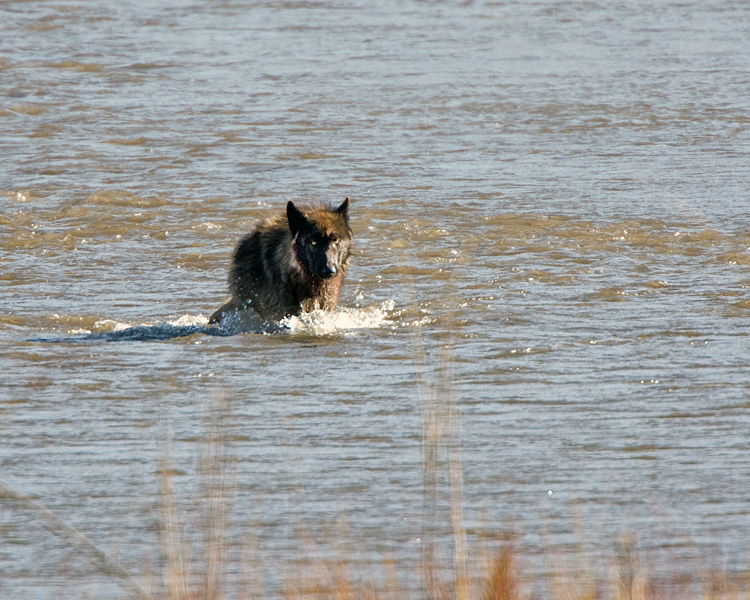 Wolf Across the Water.jpg