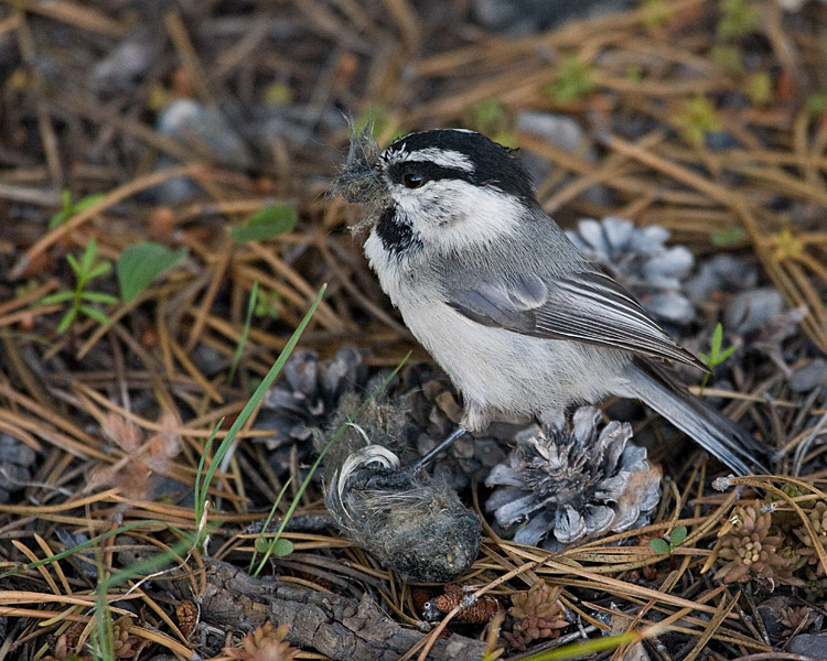 Grand Teton Mountain Chickadee.jpg