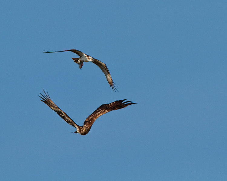 eagle and osprey.jpg