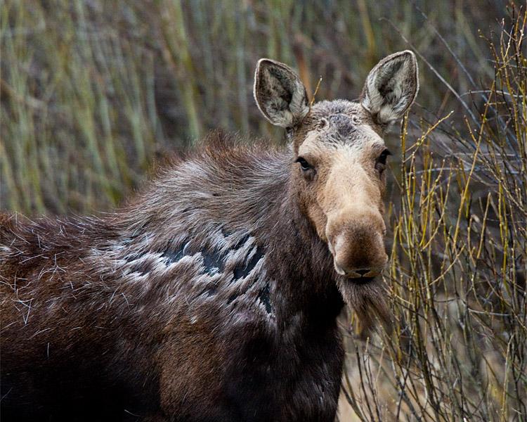 Moose in Grand Teton Closeup.jpg