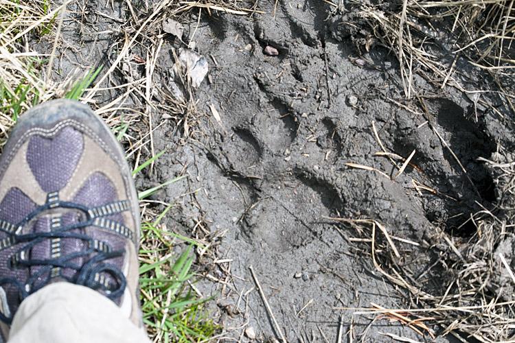 Mountain Lion Track on the Two Oceans Lake trail at Grand Teton.jpg