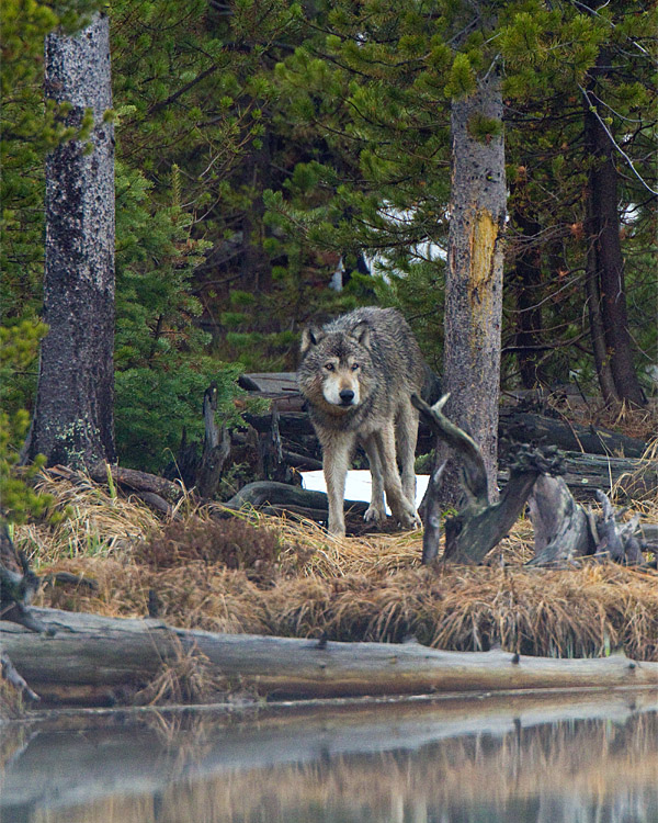 Grey Wolf in the Trees at North Twin Lake.jpg