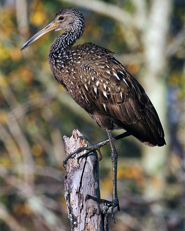 Limpkin on a Dead Tree.jpg