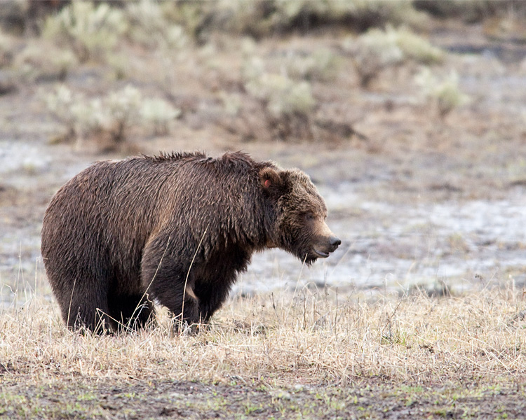 Tagged Grizzly in Lamar Valley.jpg