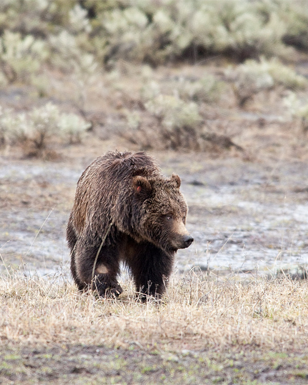 Tagged Grizzly in Lamar Canyon.jpg