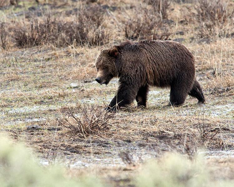 Tagged Grizzly Boar in Lamar Canyon.jpg