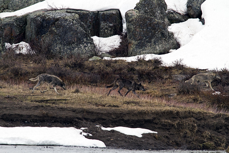 Three Wolves of the Lamar Canyon Pack.jpg
