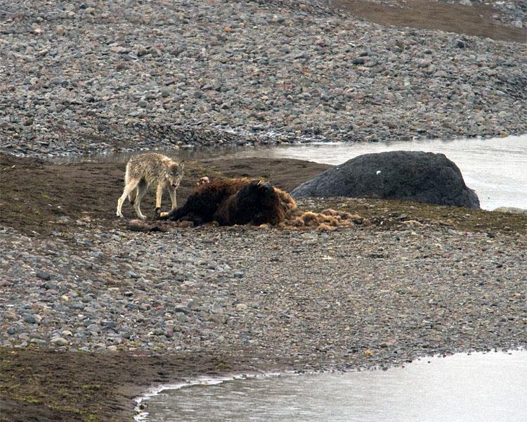 Lone Lamar Canyon Wolf on Carcass.jpg