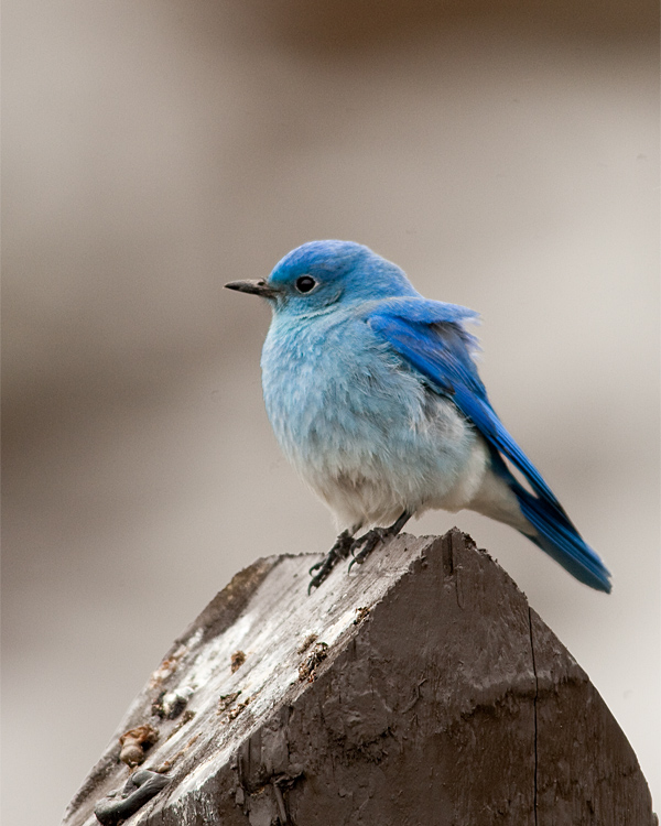 Mountain Bluebird on the Road to Tower.jpg