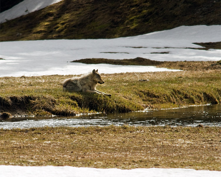 Grey Wolf Sitting by the Gibbon River.jpg