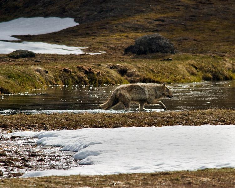 Grey Wolf Crossing the Gibbon River.jpg
