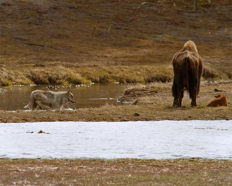 Grey Wolf Sneaking up on Bison Calf at the Gibbon River.jpg