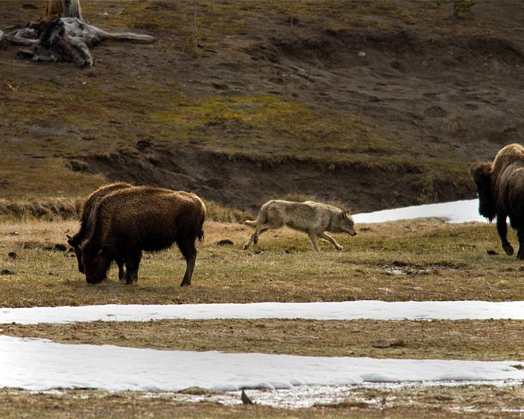 Wolf Among the Bison.jpg