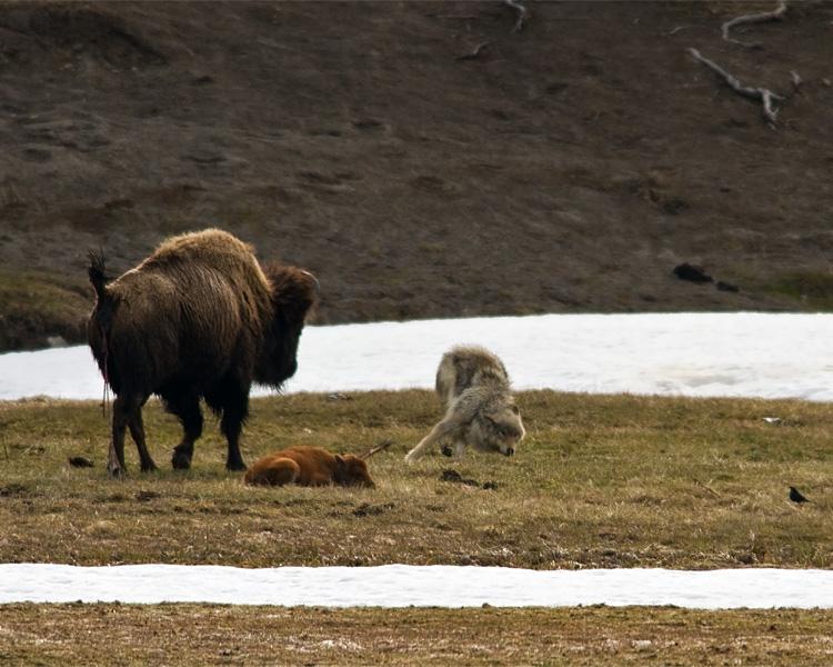 Grey Wolf Dodging Bison Mom Near Norris Junction.jpg