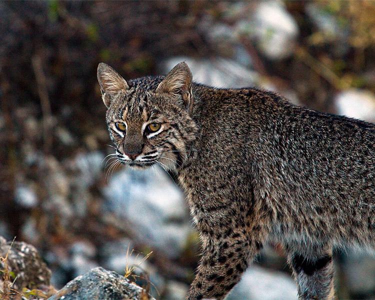 Bobcat at Circle B.jpg