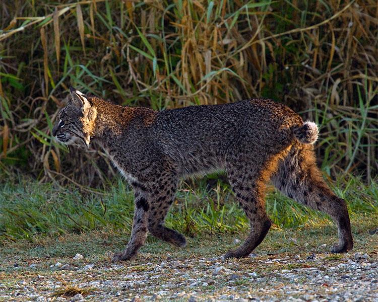 Bobcat Profile.jpg