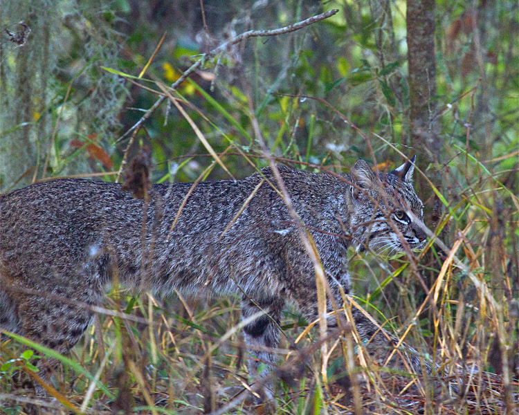 Bobcat in the Grass.jpg