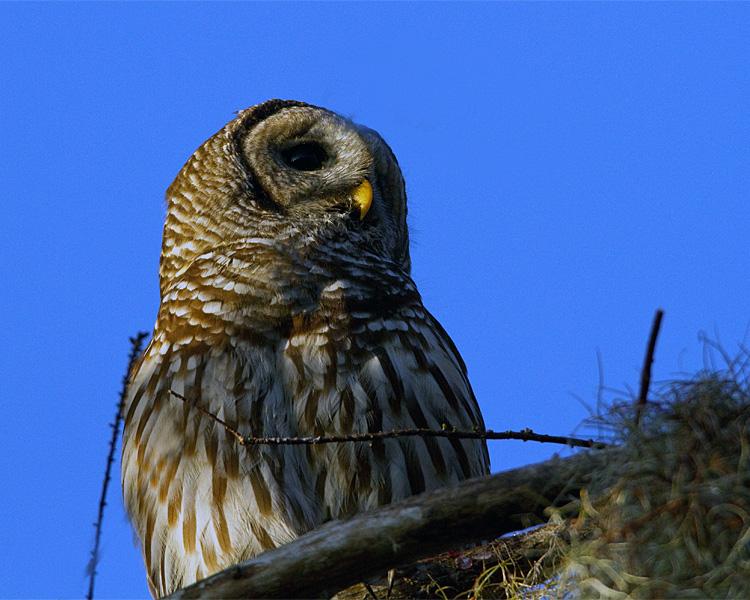 Barred Owl on the Treetop.jpg