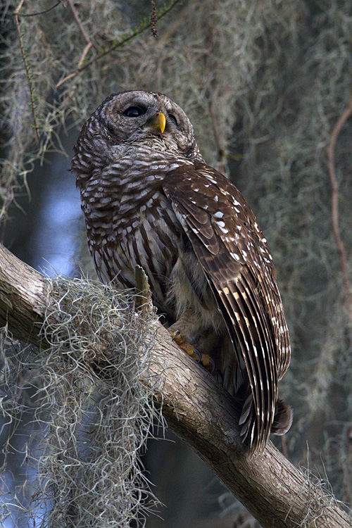 Barred Owl Looking Up.jpg