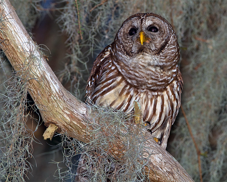 Barred Owl in the Moss 2.jpg