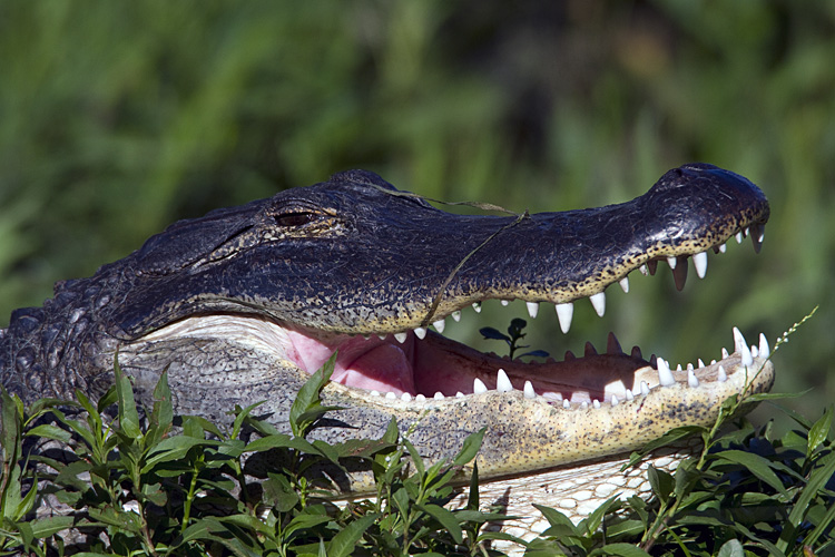 Gator with Mouth Open.jpg