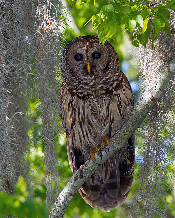 Barred Owl at Morning.jpg