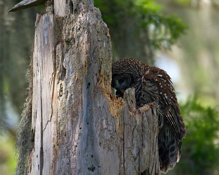 Momma Barred Owl on the Nest.jpg