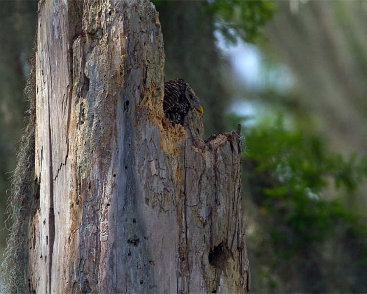 Barred Owl Mother in the Nest looking out.jpg