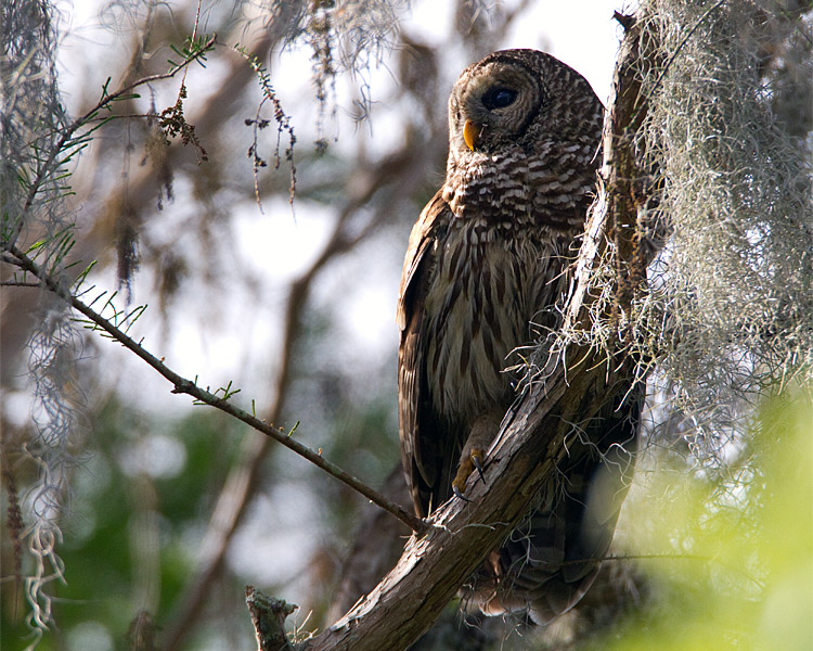 Barred Owl in the Tree at Morning.jpg