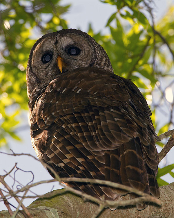 Barred Owl on Alligator Alley at Morning.jpg