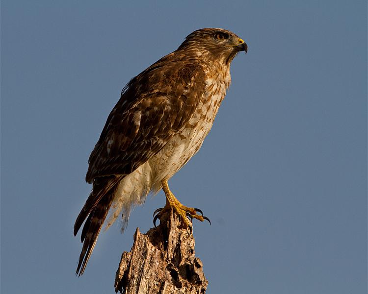 Hawk on Marsh Rabbit Run on a Stump.jpg