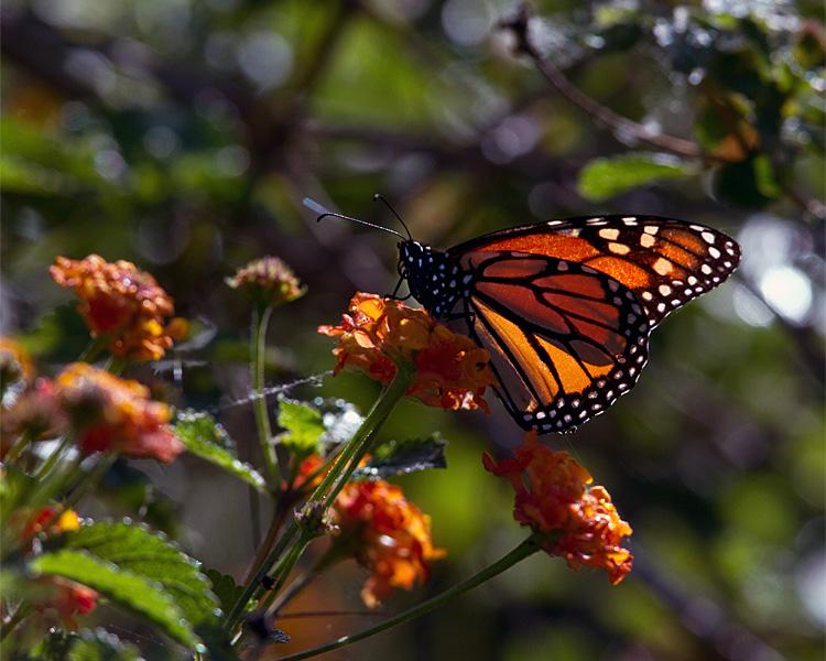 Butterfly on Alligator Alley.jpg