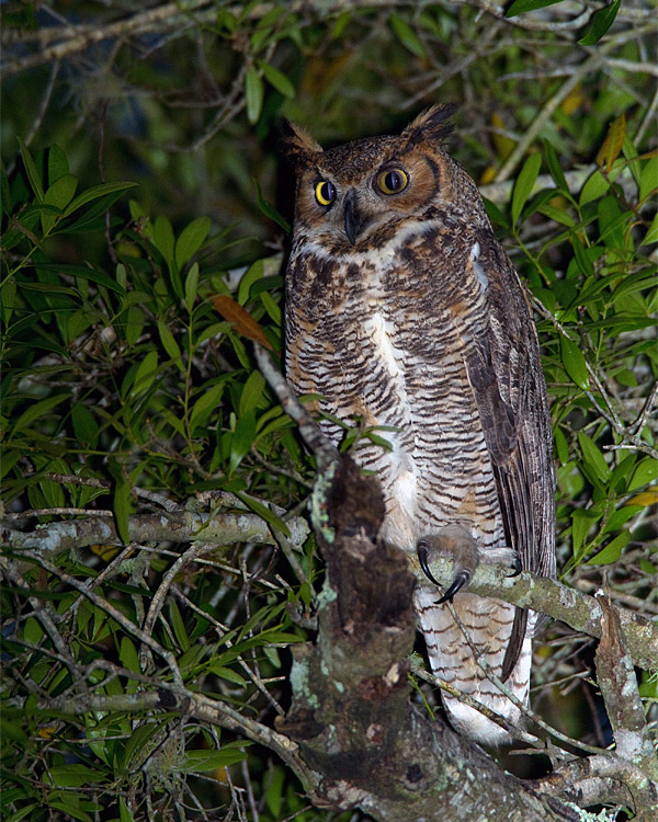 Great Horned Owl in the Tree.jpg