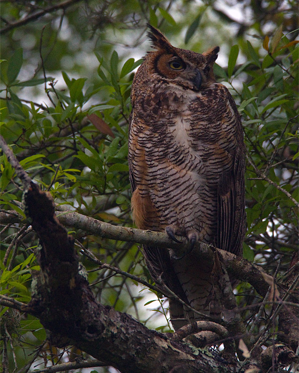 Great Horned Owl on the Entrance Road.jpg