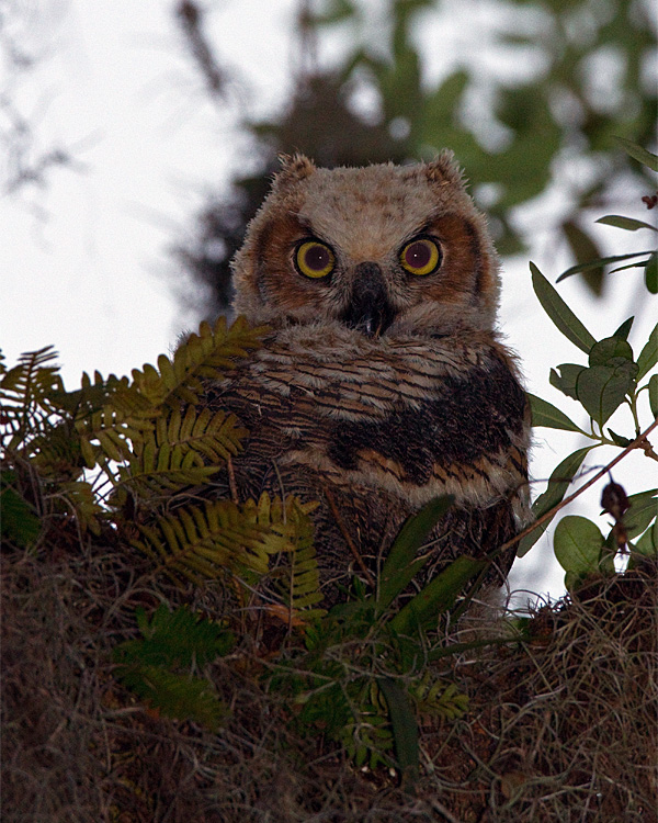 Great Horned Owl Chick.jpg