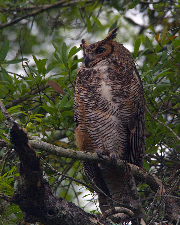 Great Horned Owl in the Tree by the Entrance Road.jpg