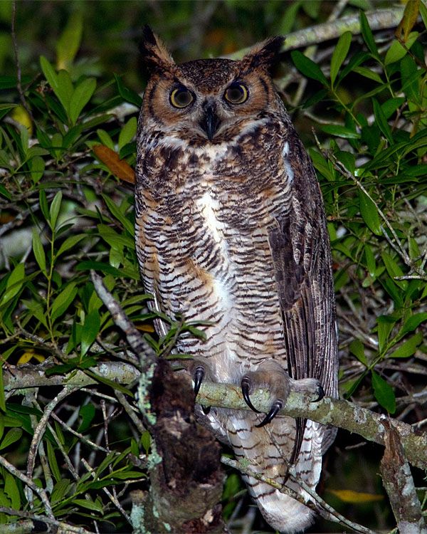 Great Horned Owl on the Entrance Road 2.jpg