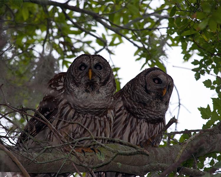 Dannys Shot of Male and Female Barred Owl.jpg