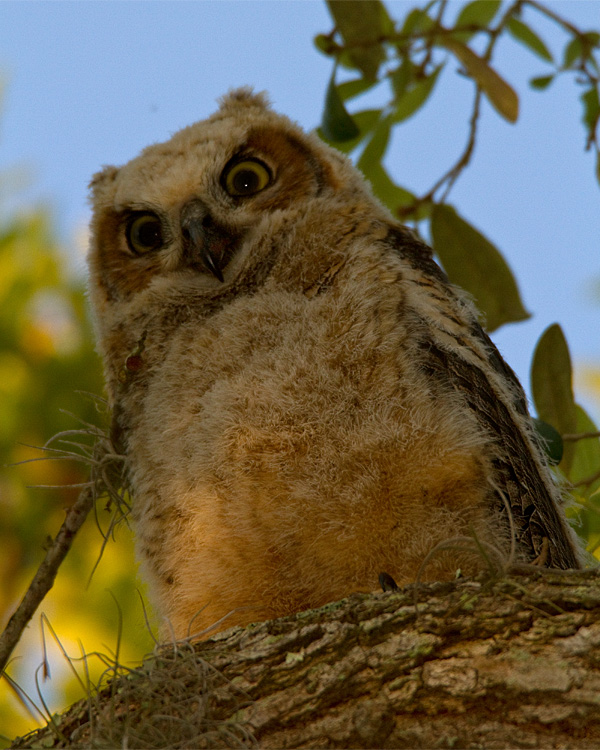 Great Horned Owl Fledgling on a Branch.jpg