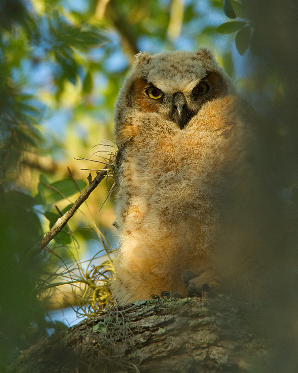 Great Horned Owl Fledgling in the Moss.jpg