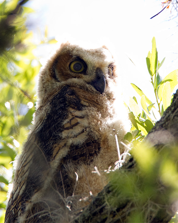 Great Horned Owl Chick in the Sun.jpg