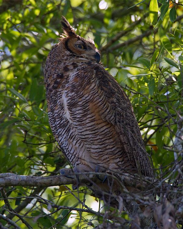 Great Horned Owl Keeping Watch.jpg
