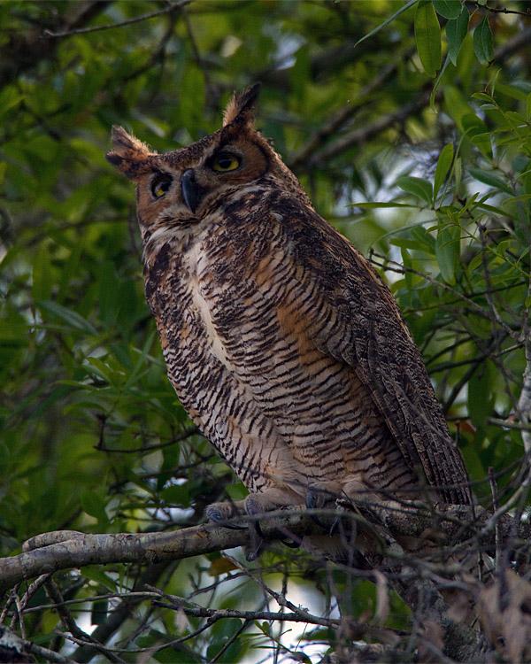 Great Horned Owl at Mid Morning.jpg