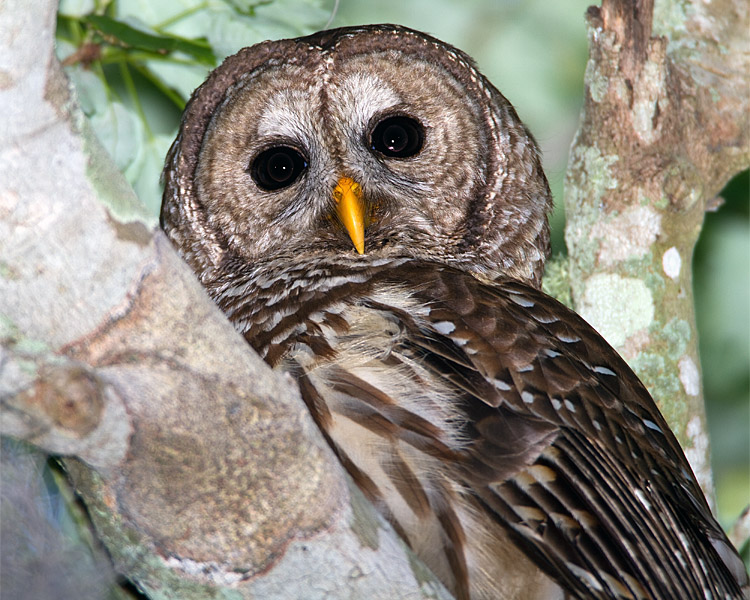 Barred Owl Closeup.jpg