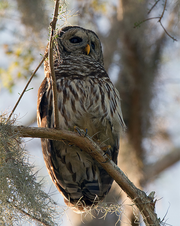 Barred Owl Male at Morning on Alligator Alley.jpg