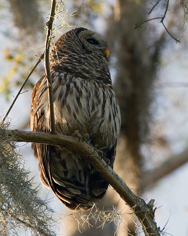 Barred Owl Male at Morning.jpg