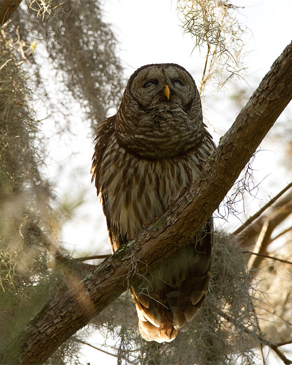 Barred Owl Male Hooting.jpg